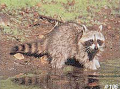 DELTA SPORTS PRODUCTS LLC Delta #106 Raccoon Target
